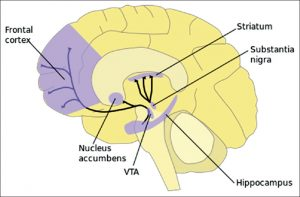 Neuromarketing: Nucleus Accumbens